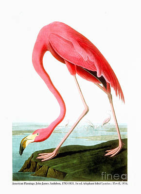 Flamingos Drawing - American Flamingo  by Celestial Images