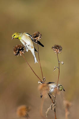 American Goldfinch (spinus Tristis Print by Larry Ditto