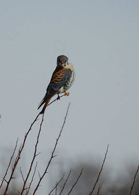 Photograph - American Kestrel by Ernie Echols