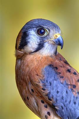 Robert Jensen Photograph - American Kestrel Falco by Robert Jensen