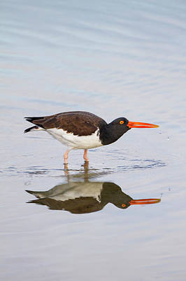 American Oystercatcher (haematopus Art Print by Larry Ditto