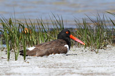 Photograph - American Oystercatcher by Jennifer Zelik