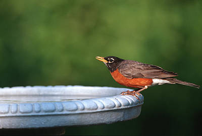 Bird Bath Photograph - American Robin (turdus Migratorius by Richard and Susan Day