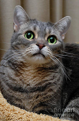 Green Eyes Photograph - American Shorthair Cat Portrait by Amy Cicconi