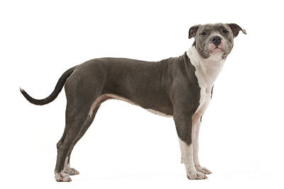 Pitbull Photograph - American Staffordshire Terrier by Jean-Michel Labat