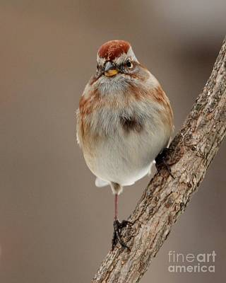 Photograph - American Tree Sparrow by Jack R Brock