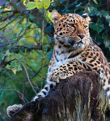 Amur Leopard Art Print by Martin Newman