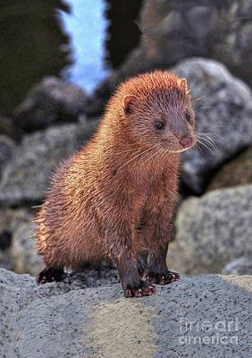 Photograph - An American Mink by Kathy Baccari
