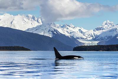 An Orca Whale  Killer Whale   Orcinus Art Print by John Hyde