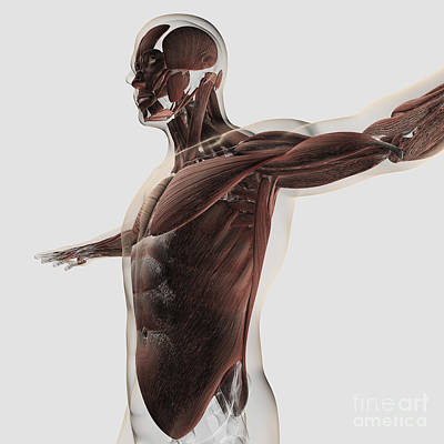 External Oblique Muscles Digital Art - Anatomy Of Male Muscles In Upper Body by Stocktrek Images