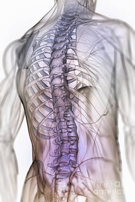 Photograph - Anatomy Of The Back And Spine by Science Picture Co