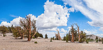 Ancient Panorama - Bristlecone Pine Forest Art Print by Jamie Pham