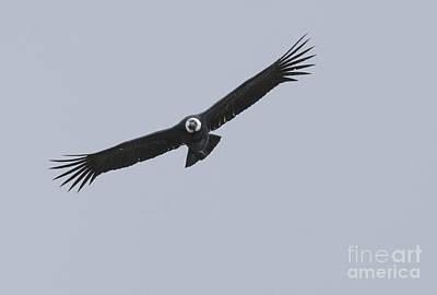 Photograph - Andean Condor by Dan Suzio