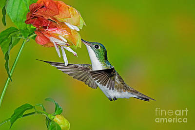Amazilia Photograph - Andean Emerald Hummingbird by Anthony Mercieca