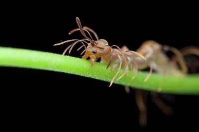 Ant-mimic Caterpillar Art Print by Melvyn Yeo