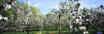 Apple Orchard, Hudson Valley, New York Art Print