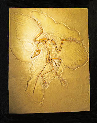 Photograph - Archaeopteryx Fossil by Millard H. Sharp