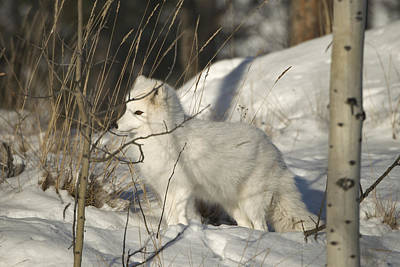 Photograph - Arctic Fox, Winter White Phase by Mark Newman