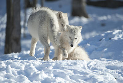 Photograph - Arctic Wolf Pups by Wolves Only