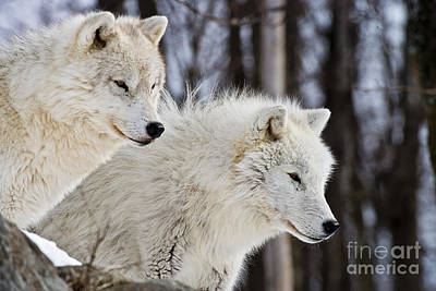 Wolves Photograph - Arctic Wolves by Michael Cummings