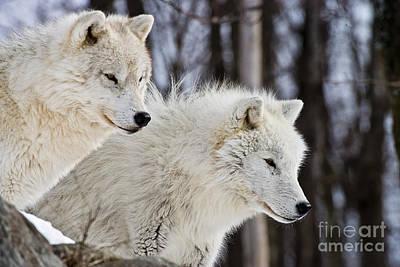 Arctic Wolves Art Print by Michael Cummings