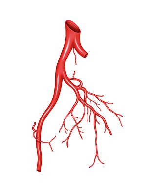 Arteries Photograph - Arterial System Of The Abdomen by Asklepios Medical Atlas