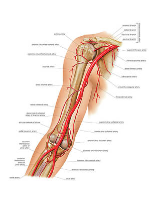 Arterial System Of The Arm Photograph by Asklepios Medical Atlas