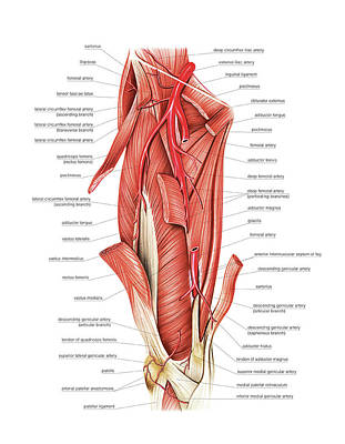 Arterial System Of The Thigh Art Print by Asklepios Medical Atlas