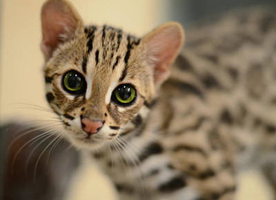 Cat Photograph - Asian Leopard Cub by Laura Fasulo