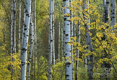 Photograph - Aspen Gold by Idaho Scenic Images Linda Lantzy