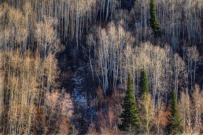 Photograph - Aspen Grove by Douglas Pulsipher