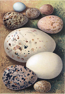 Photograph - Assorted Birds Eggs, Historical Art by Sheila Terry