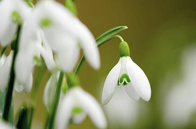 Snowdrops Wall Art - Photograph - Assorted Location Shoots by Digital Camera Magazine