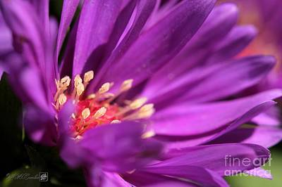 Photograph - Aster Named Magic Purple by J McCombie