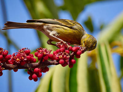 Photograph - Atlantic Canary With Berries by Jouko Lehto