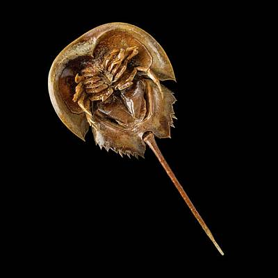 Horseshoe Crab Photograph - Atlantic Horseshoe Crab by Science Photo Library