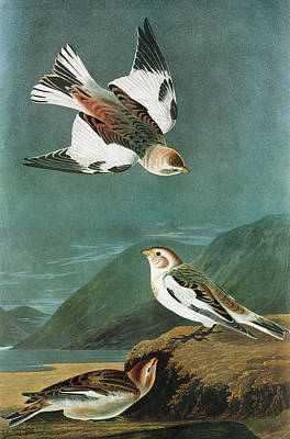 Bunting Painting - Audubon Bunting by Granger