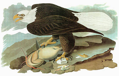 Catfish Painting - Audubon Eagle by Granger