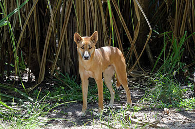 Dingo Photograph - Australia, Northern Territory, Darwin by Cindy Miller Hopkins