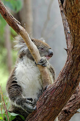 Marsupial Photograph - Australia, Perth, Yanchep National Park by Cindy Miller Hopkins