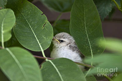Photograph - Baby Bird Peeping In The Bushes by Jeannette Hunt