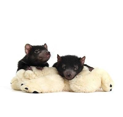 Marsupial Photograph - Baby Tasmanian Devils by Science Photo Library