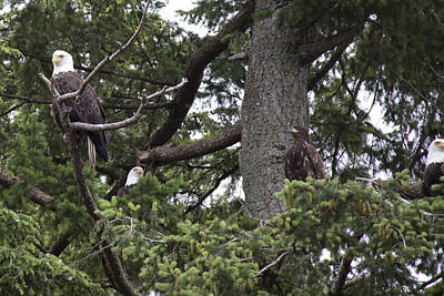 Photograph - Bald Eagle - Immature And Adult - 0024 by S and S Photo