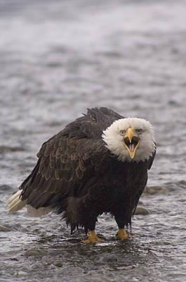 Bald Eagle Calling Alaska Print by Michael Quinton