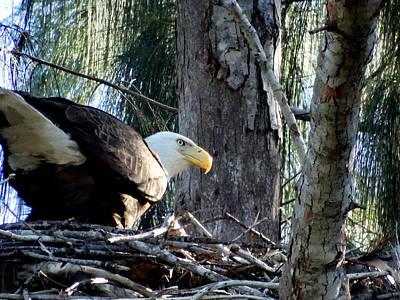 Photograph - Bald Eagle Feeding by Frederic BONNEAU Photography