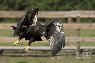 Photograph - Bald Eagle In Flight Photo by Meg Rousher