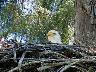 Photograph - Bald Eagle Nesting by Frederic BONNEAU Photography
