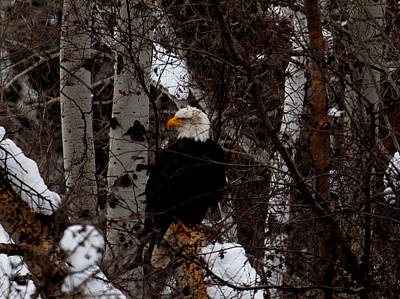 Photograph - Bald Eagle by Omaste Witkowski