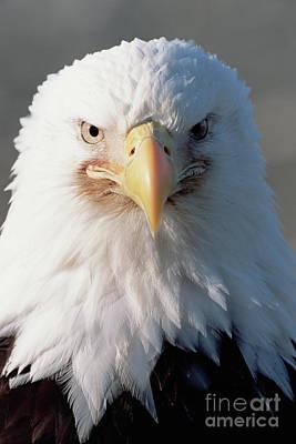 Photograph - Bald Eagle Portrait Alaska by Yva Momatiuk John Eastcott