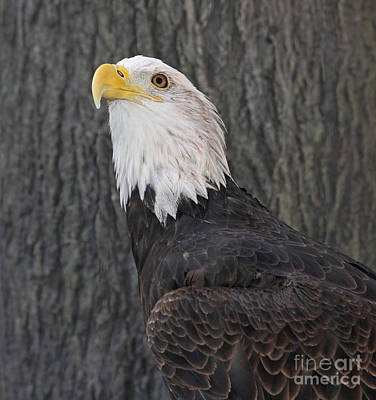 Photograph - Bald Eagle Portrait by Kevin McCarthy